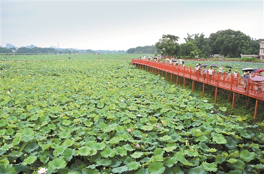 """平桂区""""藕莲天下""""特色水生蔬菜产业示范区:荷塘飘香引客来"""