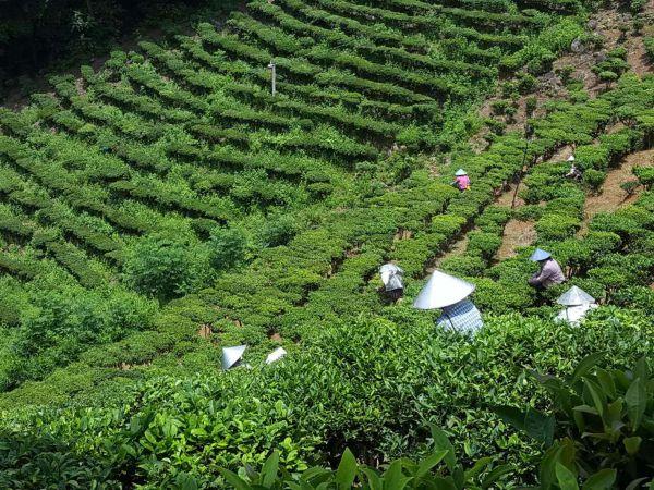 """横县:那阳镇政华村""""抱团式""""发展茶产业获得成功"""