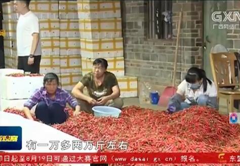宾阳县:辣椒丰收 走俏市场