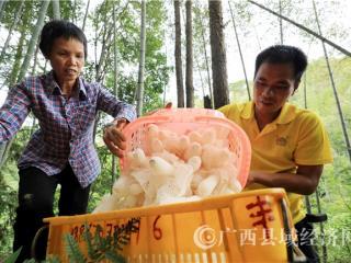 融安县:山区贫困农民种植竹荪助脱贫