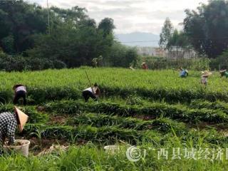 蒙山县:发展生姜特色产业 农民尝到增收的甜头