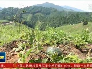 """三江县:油茶西瓜相""""联姻"""" """"以短养长""""促增收"""