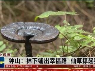 钟山县:林下铺出幸福路 仙草撑起致富伞