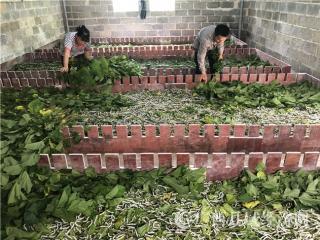 平果县韦国清:发展种桑养蚕 脱贫致富奔康