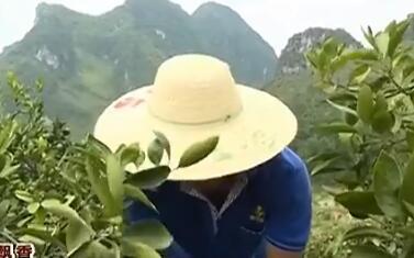 """忻城县:早熟柑橘""""抢鲜""""上市 种植户笑逐颜开"""