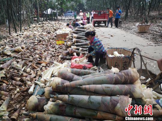 图为农户将竹笋剥皮销售给工厂。 林馨 摄