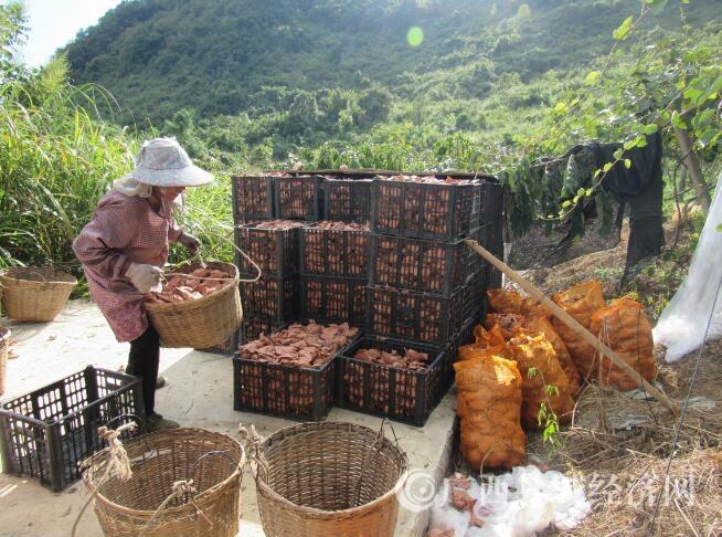 环江县:种植猕猴桃 拓宽致富路