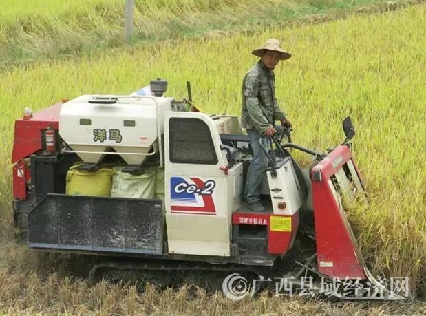 乐业县:同乐镇千亩水稻陆续进入收割期