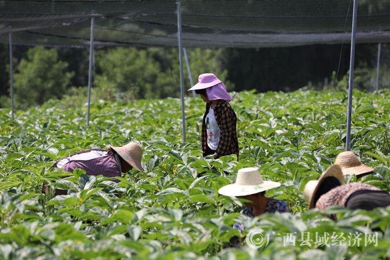 环江:魔竽种植为产业扶贫注入新动能