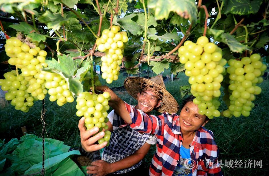 柳南区:发展优质葡萄助脱贫