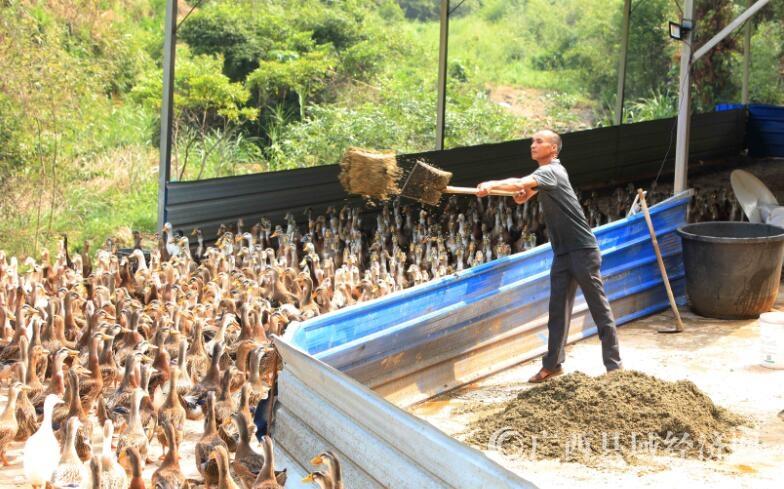 """融安县:贫困群众养殖""""构香鸭""""致富"""
