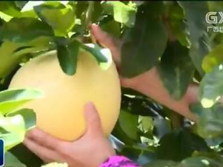 岑溪市:三红蜜柚新鲜上市 营养丰富备受青睐