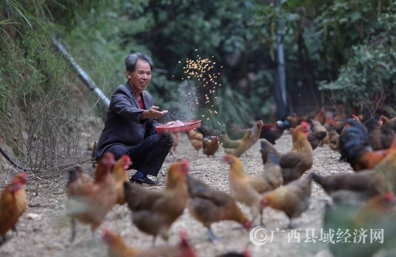 """融安县:贫困山区""""飞鸡""""助脱贫"""