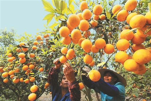 右江区:芒果种植次适宜区产业发展观察