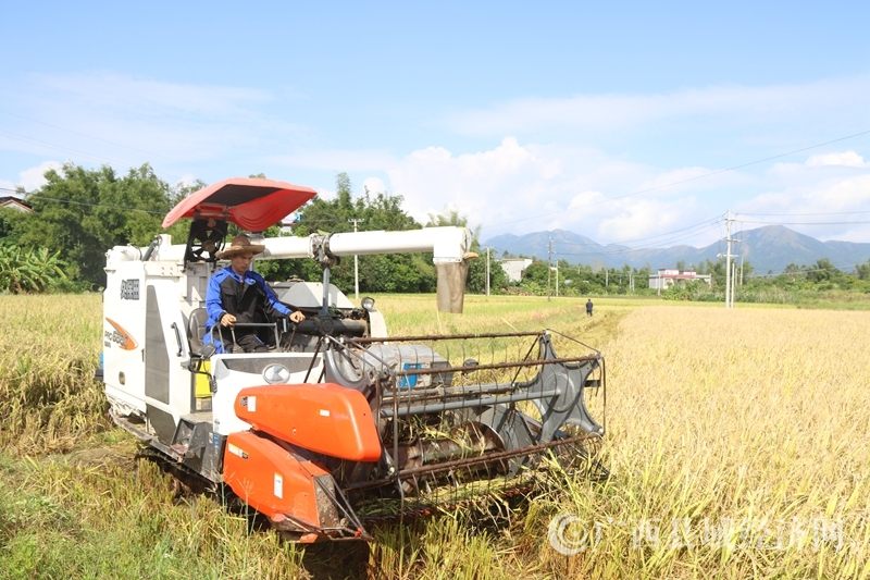 防城港市水稻机械穴直播测产现场观摩会在防城区召开