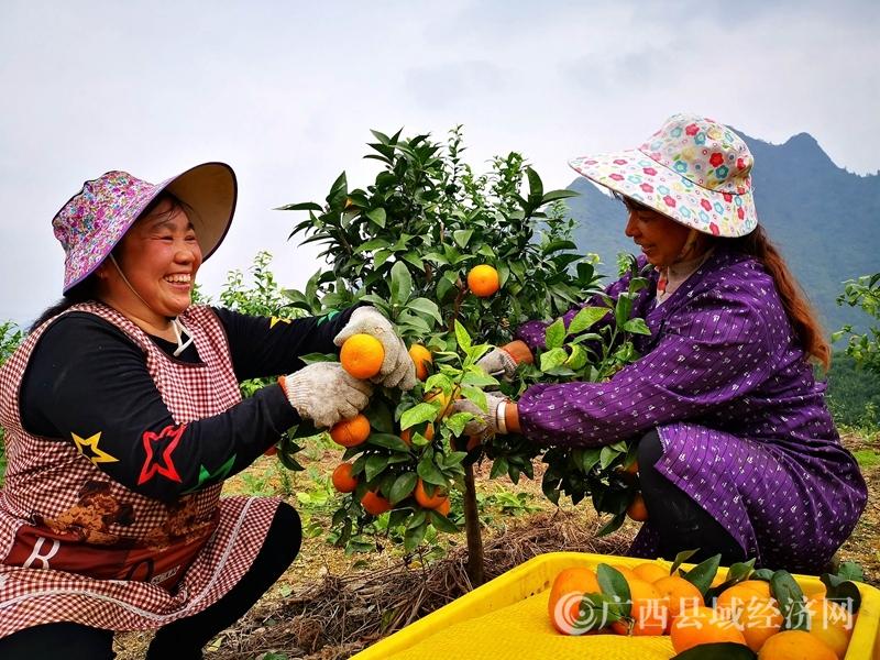 """金城江:村民种植致富""""黄金果""""开始上市销售"""