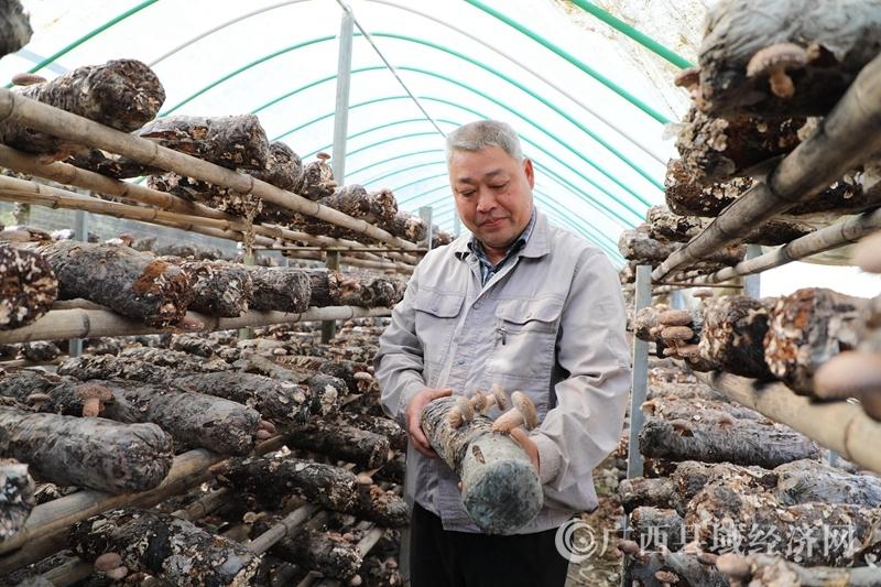 凌云县园平食用菌种植示范基地刘承寿:大山里的种菌人