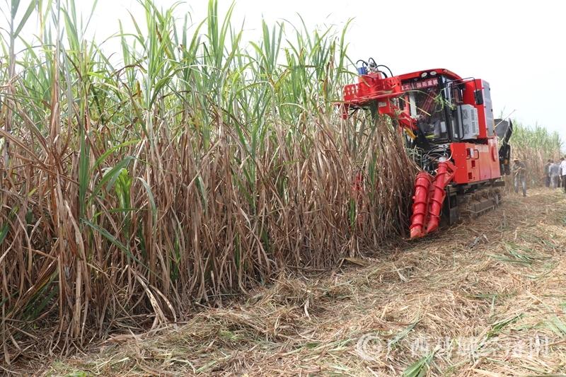 江州区:濑湍镇甘蔗机械化收割