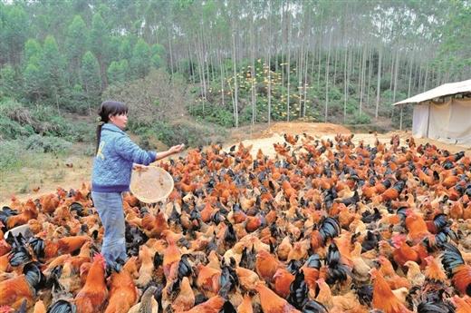 田东县:发展扶贫林产业观察