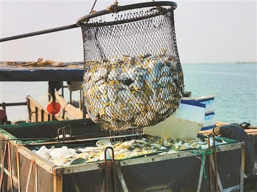 防城港:金鲳鱼大丰收 养殖户捕捞忙