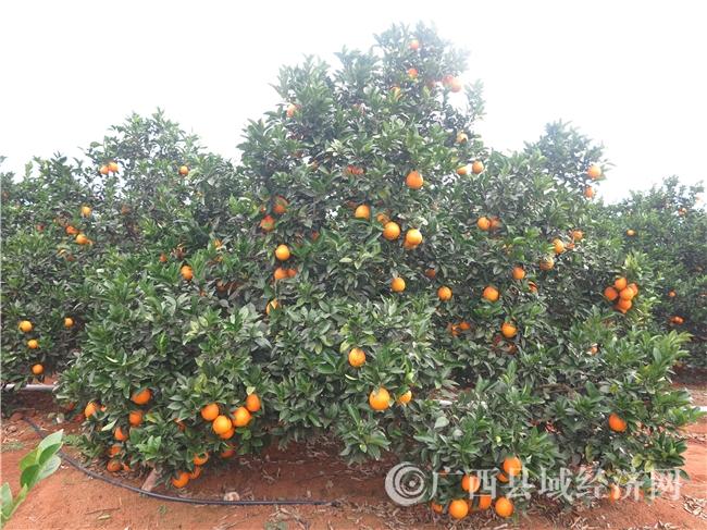 富川县:做优做强脐橙产业促农脱贫增收致富