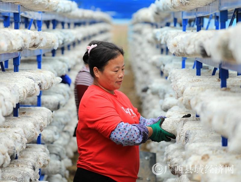 融安县: 融康移民小区微田园里小雪时节农事忙