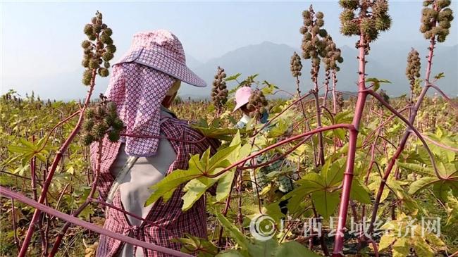 """富川县:""""绿色石油""""迎来首次丰收 新型产业走出致富新路"""