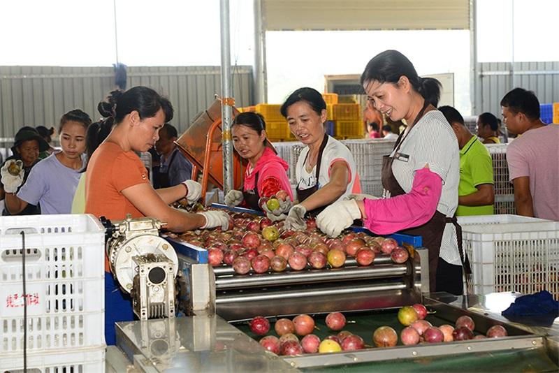 北流市:加快发展百香果产业助力脱贫攻坚