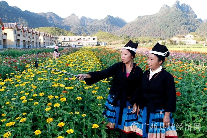 南丹县:农牧花田百日草竞相绽放喜迎游客