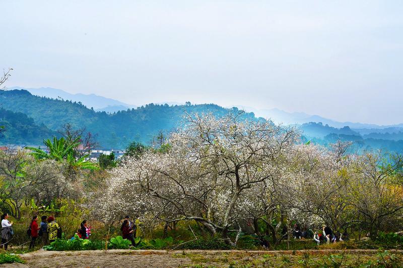 宾阳县:陈平梅花节28日开幕 着力打造生态梅花旅游小镇
