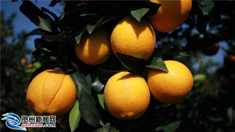 富川县:脐橙产业品种结构布局上新台阶