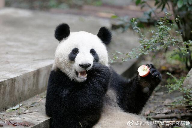 """""""绩美""""""""绩兰""""要来了!可以去南宁动物园看熊猫啦!"""