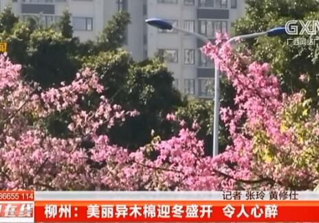 柳州:美丽异木棉迎冬盛开 令人心醉