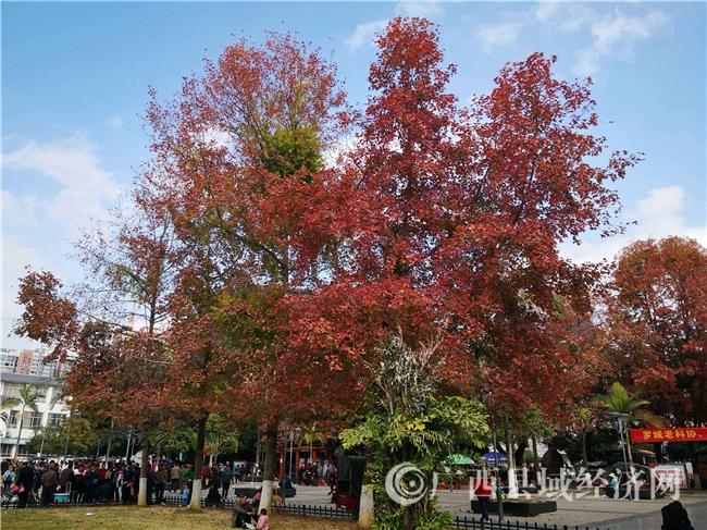 """罗城:暖冬""""枫景""""红"""