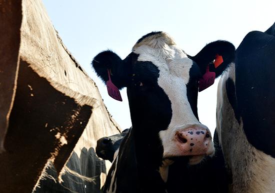 钦州口岸迎首批澳洲种牛 海关精准服务助快速通关