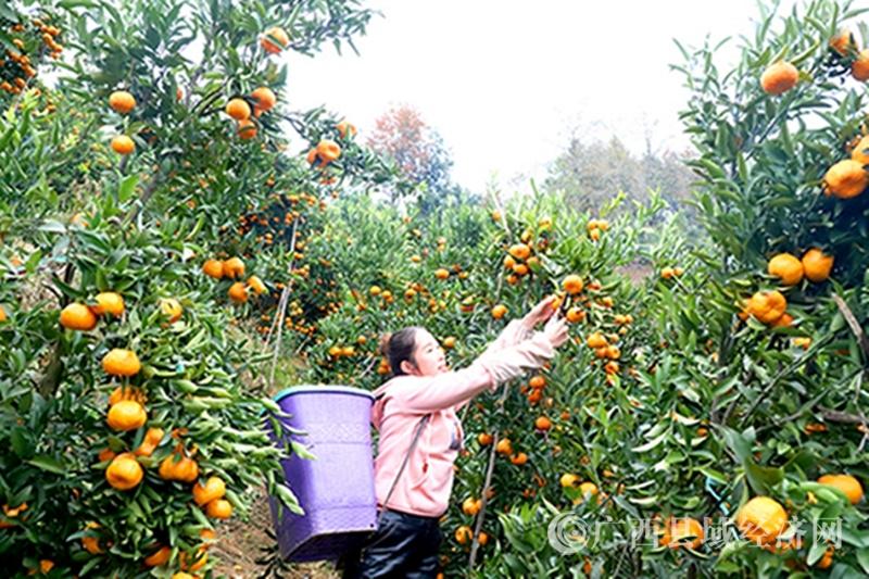 乐业县同乐镇百龙村:种植精品水果 农户增收致富