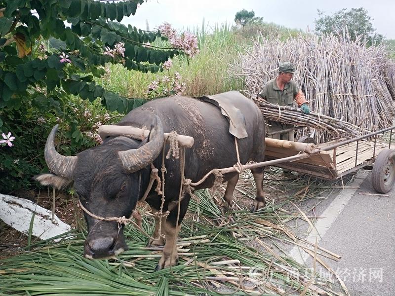 宁明县:全县甘蔗种植面积70万亩