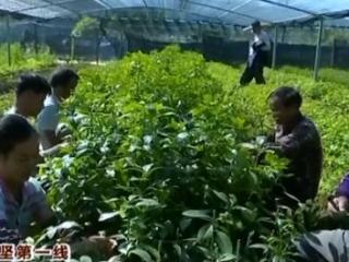 藤县古龙镇:发展优质八角苗繁育 拓宽农民脱贫致富道路