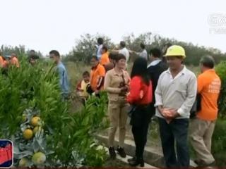 灵山县:柑桔园里有场交流会