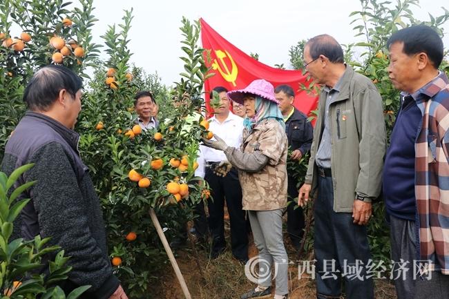江州区岑对屯:柑橘种植带给农户增收致富