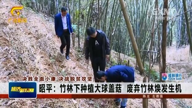 昭平县:竹林下种植大球盖菇 废弃竹林焕发生机