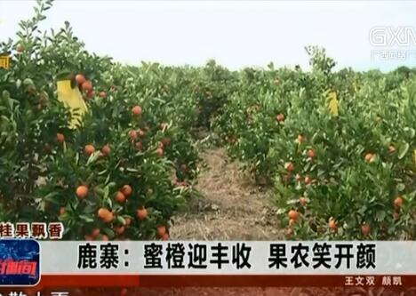 鹿寨县:蜜橙迎丰收 果农笑开颜