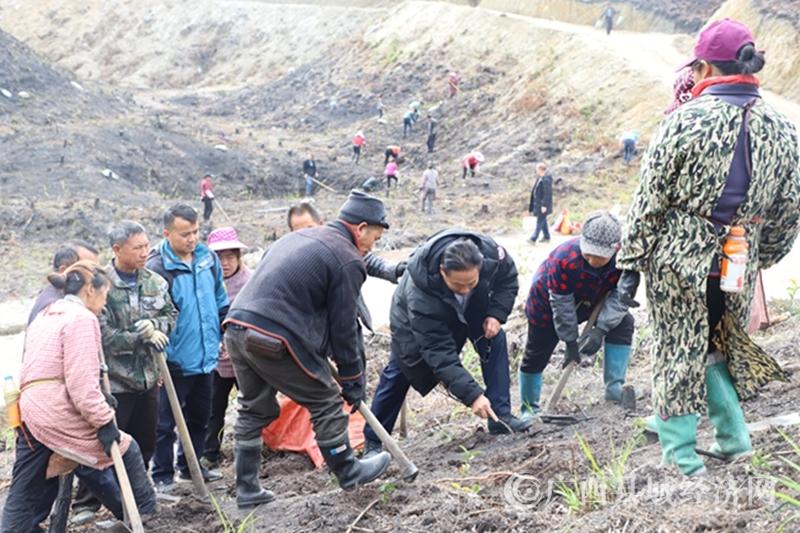 南丹县:油茶幼林套种山豆根  探索脱贫致富新门路