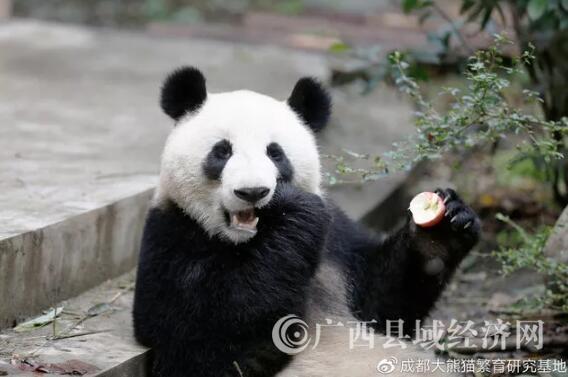 """南宁动物园大熊猫""""绩美""""""""绩兰""""15日开始迎客"""