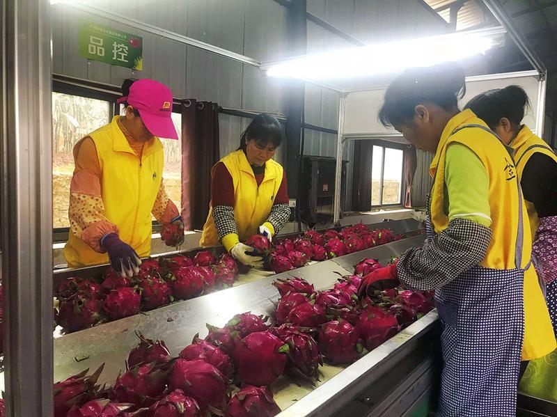 隆安县:冬季火龙果火热上市