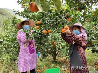 爱心助农 | 金秀县罗香乡万斤柑橘精准帮扶