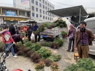 环江县:天气持续回暖 苗木销售升温