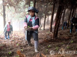 平桂区金竹村:林下种植草珊瑚  1年种下20年受益