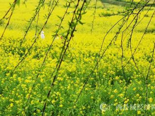 南丹:满山遍野金黄油菜花开 醉人花香迎春来
