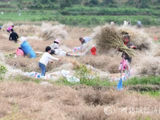 罗城县:春耕时节抢收油菜忙